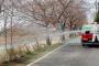 서산 해미천의 '벚꽃 엔딩'.. 2일부터 주요 진·출입로 통제!